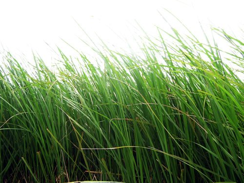 Картинки png - Зеленая трава