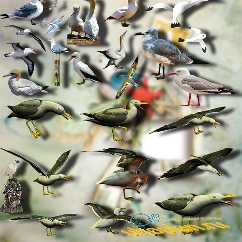 Растровые клип-арты - Морские чайки