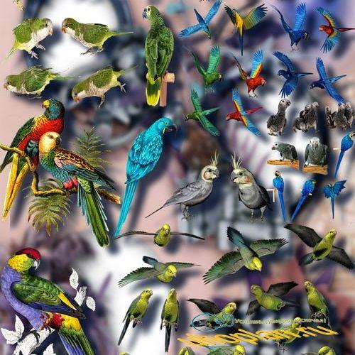 Клипарты для фотошопа на прозрачном фоне - Цветные попугаи